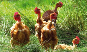 Poulets dans les landes