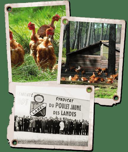 Marensine et poulets en liberté