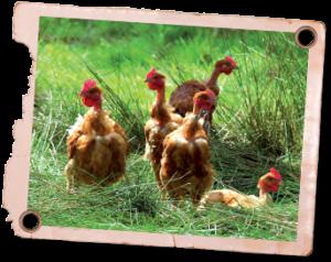 poulets dans la forêt landaise